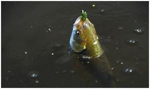 Рыба любит  «зелень»
