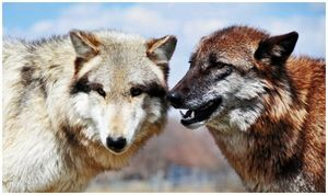 Война и волки…