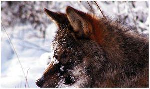 Волчий разбой