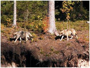 Волк  и шакал