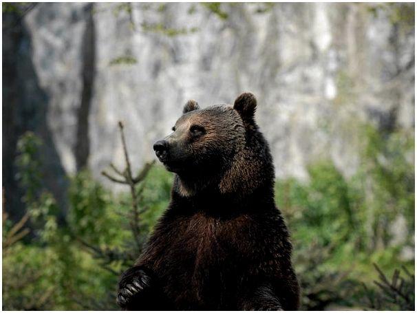Глухой медведь