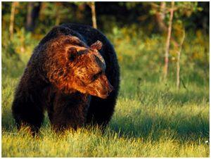 На медведя  из засидки: секреты успеха