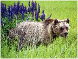 Первая встреча с медведем