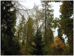 Почему сохнут еловые леса?