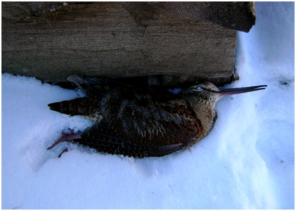 Трудная  зимовка