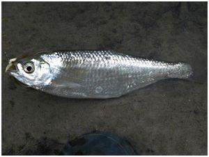 Вкусная рыбка уклейка