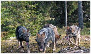 Волк  в капкане