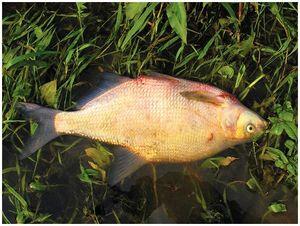 Больная рыба – осторожно!