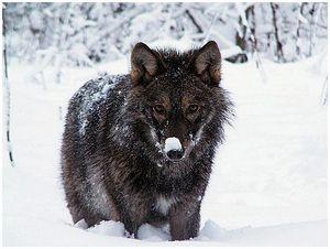 Добыть волка