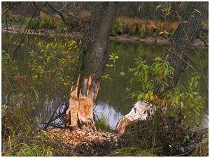 Хозяин  лесного  озера