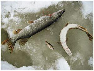 Особенности питания хищных рыб