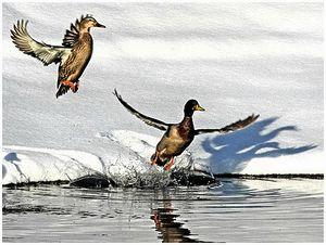 Прилетит ли кнам весной птичий грипп?