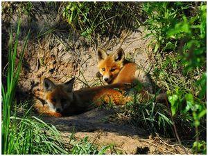 Серебряные  лисы  туркестана