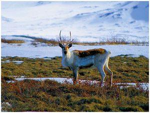 Северный олень— кладезь биологически активных веществ