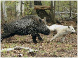 Состязания лаек по подсадному зверю