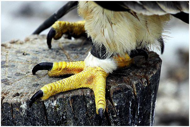 В защиту хищных птиц