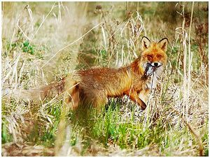 Дупло для лисы