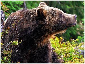 Медведю закон не писан