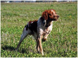Моя собака — бретонский  эпаньоль