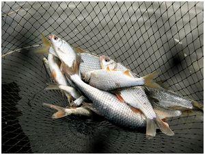 Разнообразие плотвиной ловли