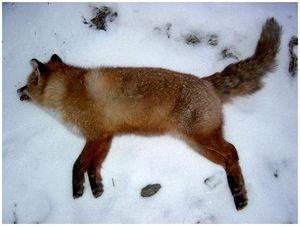 Секреты охоты на лисиц с подхода