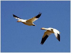 Весенняя охота на гусей как инструмент охраны природы