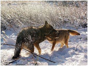 Волки в дельте Волги