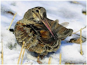 Зимовка вальдшнепов во Франции