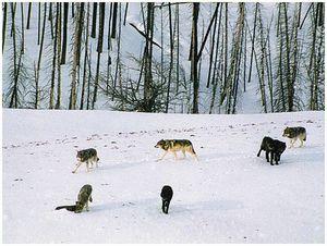Портсигар, баран и волки