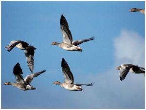 Позиция департамента  по весенней охоте и вступлению в  AEWA