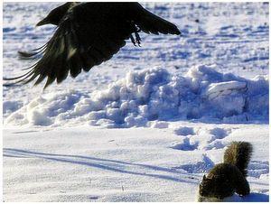 Ворона против белки