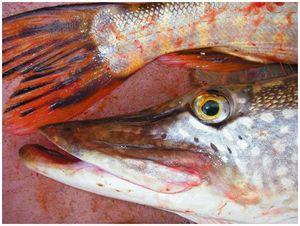 Блюда из рыбы по-еврейски