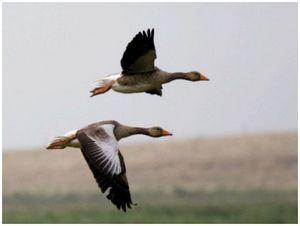 Две охоты на гуся