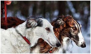 Есть ли у собак охотничий инстинкт