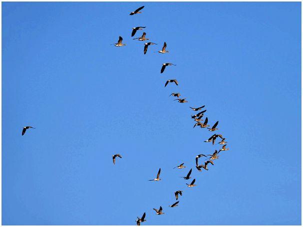 Как добыть гуся весной (статья вторая)