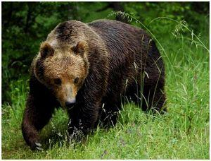 Медведь на птичнике