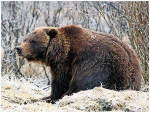 Медвежий инстинкт