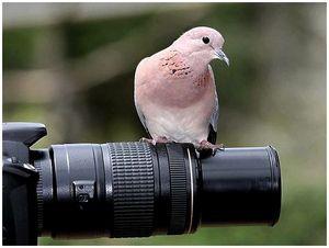 Непростая птица голубь