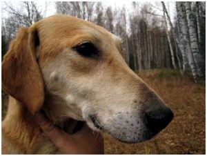 Нужны ли охотничьей собаке зубы?