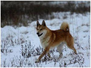 О пользе и вреде породистых собак