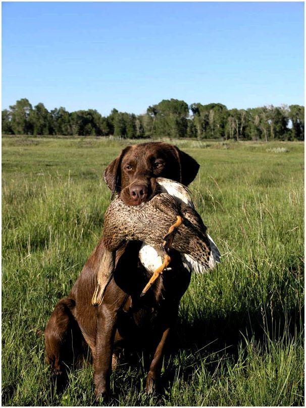 «Охотничий инстинкт» охотничьих собак