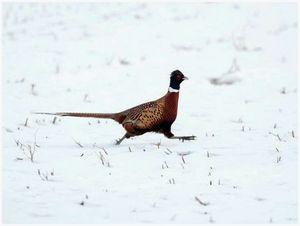 Опыт разведения фазанов
