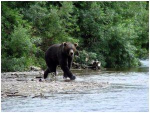 От медведя спасли удочки