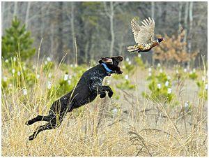 «Подсадная» охота