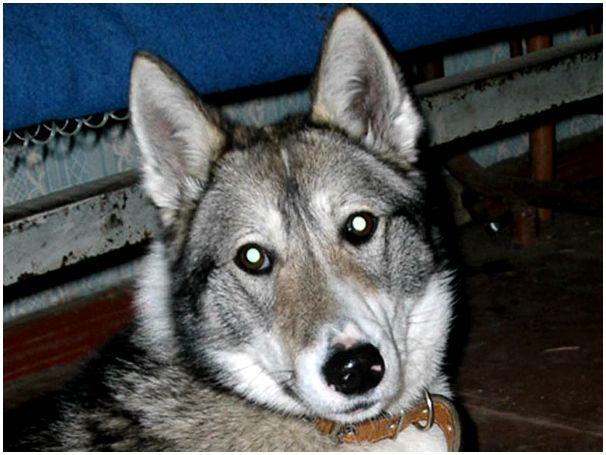 Проект концепции развития охотничьего собаководства в Росохотрыболовсоюзе