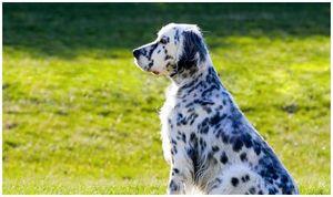 Результаты Орехово-Зуевской выставки собак охотничьих пород от 8 сентября 2012г.