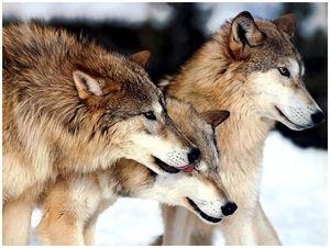 С волкогонной стаей