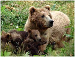 Сахалинская медведица