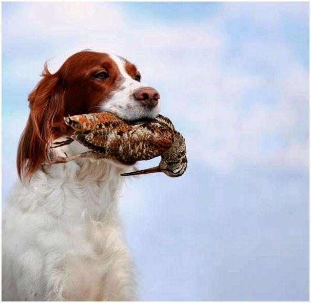 Ведущие кинологи рассказали о непростой ситуации в охотничьем собаководстве