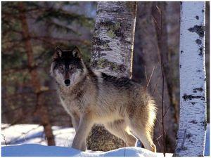 Волчья тишина: размышления волчатника